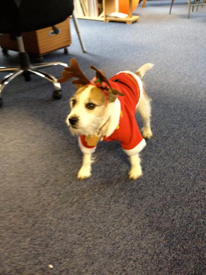 Scamp our office dog doing his best reindeer impression.