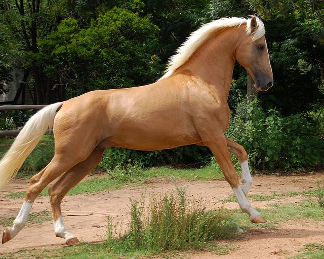 Napoleon - Palomino part Saddlebred Stallion