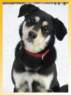 Labrador / Husky Mix.  Looks like Dakota, this I the dog I want!