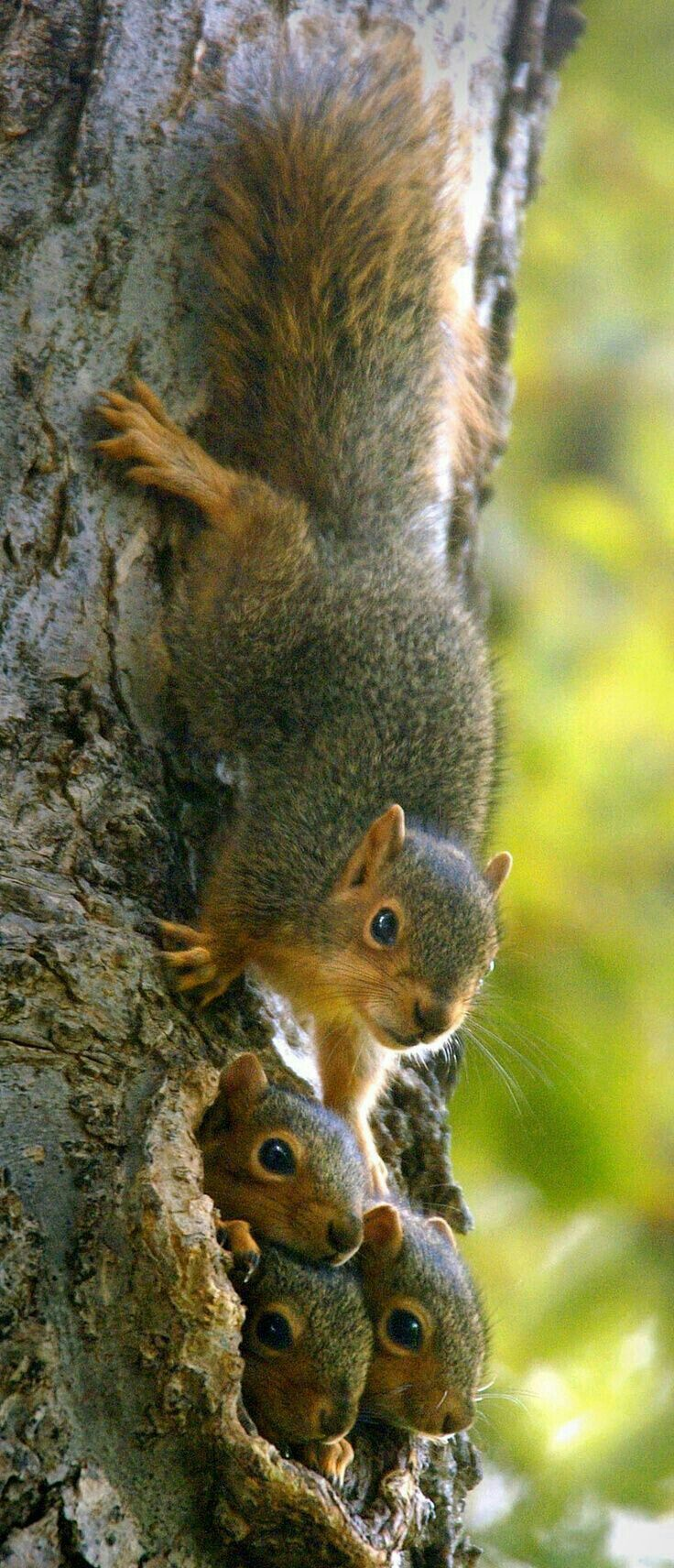 best 25 fox squirrel ideas on pinterest opposite of normal