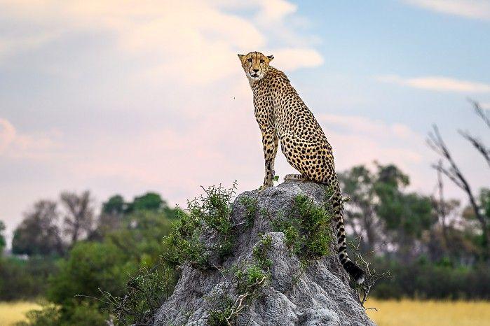 Best seat in the house! Cheetah at Vumbura Plains #OkavangoDelta #Botswana