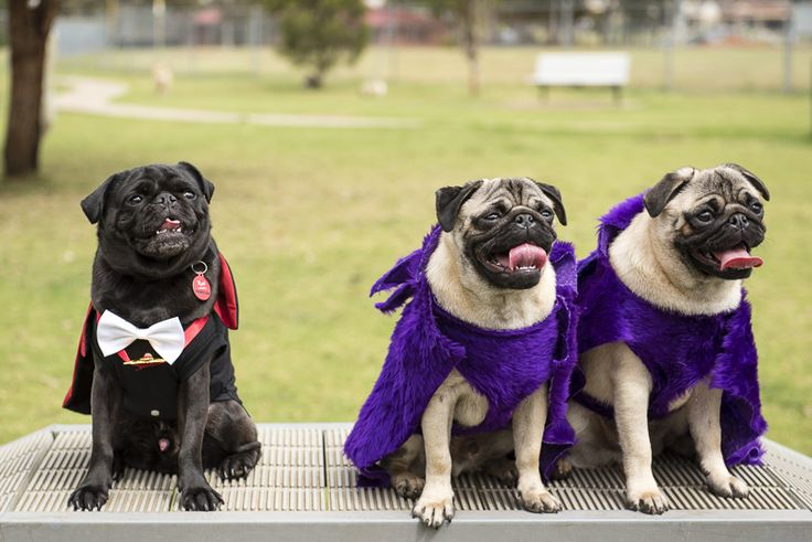 How to Organise a Fundraising Pug Meet Event for Charity http://www.thepugdiary.com/organise-fundraising-pug-meet-event-charity/
