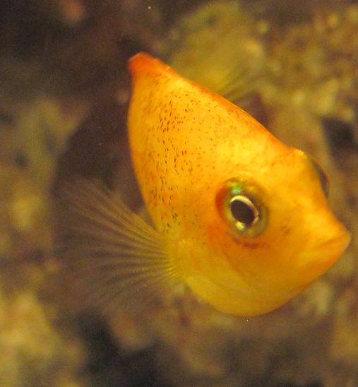 orange chromide Our Saltwater Tank Pinterest