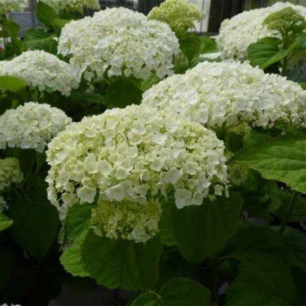Hydrangea arborescens Incrediball (Annabelle Strong) - 1 shrub:Amazon.co.uk:Garden & Outdoors
