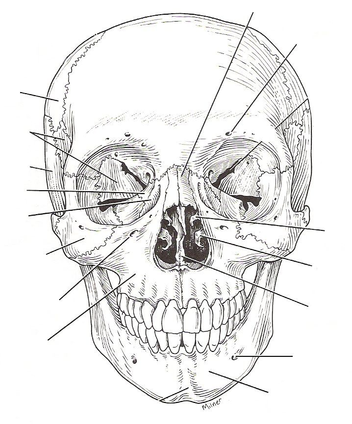 Pin by beckie palmer on anatomy | Skull labeled, Skull