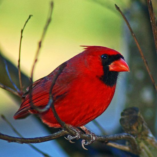 A slideshow of tips: Attract Birds like Northern Cardinal, Black-Capped Chickadee, Blue Jay, Finches, Woodpeckers, Mourning Doves, English Sparrows, and Other Backyard Birds with Safflower Seeds, Black Oil Sunflower Seeds, Peanuts, Nyjer Seed, Suet, Cracked Corn, Mixed Birdseed, and a Birdbath Heater