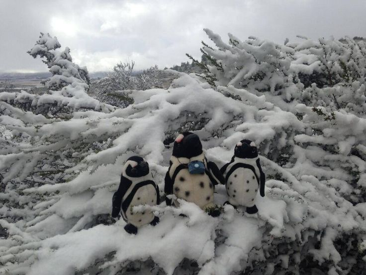 """""""3 Pikkewyne in a snow wonderland at Matroosberg just outside Ceres"""" via @myownphotocoach"""