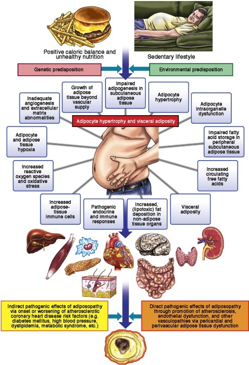 How obesity impacts vascular system