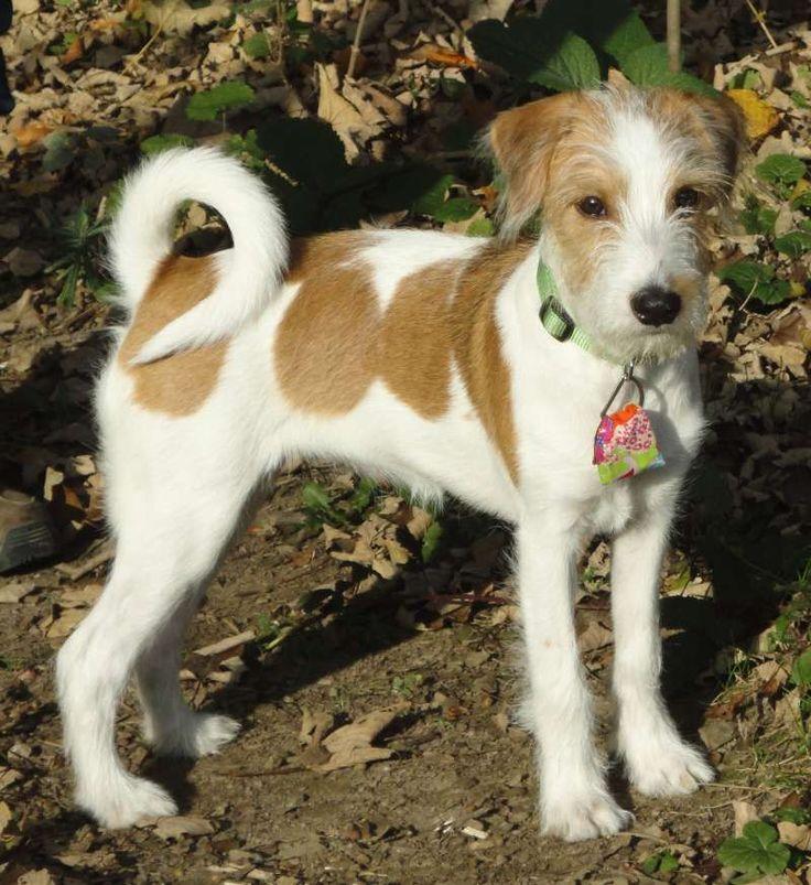 27 best Kromfohrlander images on Pinterest | Doggies, Dog breeds and ...
