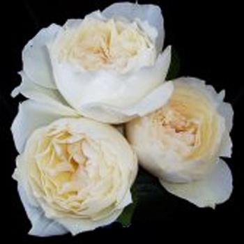 helga piaget cream garden rose - Cream Garden Rose