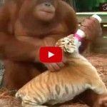 Orangután adopta 3 tigres bebé. ¡Qué cosa tan bella y tierna!