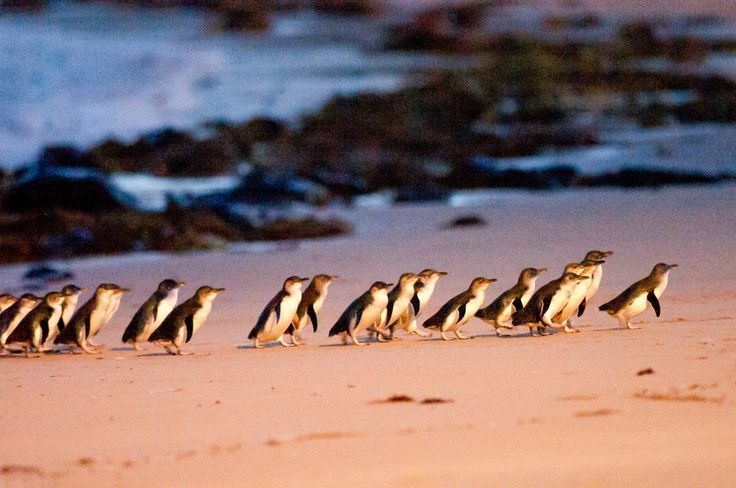 watch fairy penguinse on parade in phillip island. http://www.ozehols.com.au/blog/victoria/inverloch-accommodation-caravan-park-in-phillip-island/ #phillipisland #basscoast #happyholidays