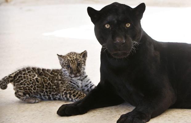 [Abnormally] Black Jaguars Love Their Non Black Kittens