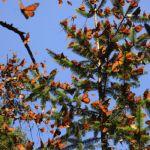 Disfruta de esta inigualable experiencia con esteTour al Santuario de la Mariposa Monarca y Valle de Bravo.