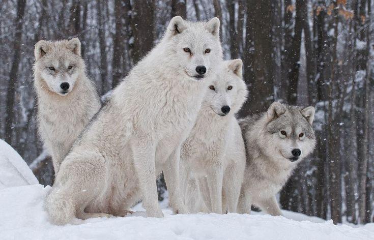 L'effet étonnant des loups su rl'éco-système, expliqué en 4 mn !  Ils ont relâché 14 loups dans un parc. Mais personne n'était préparé à cela. Ce qui se passe ensuite est un miracle et prouve que nous devons prendre soin de notre merveilleuse planète. En 1995, l'US Fish and Wildlife, ainsi que des biologistes canadiens, ont capturé 14 loups au Canada et les ont installés dans …