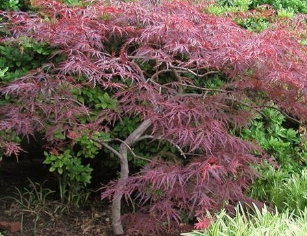 Next to be planted in our yard.   Chinese Maple Tree.