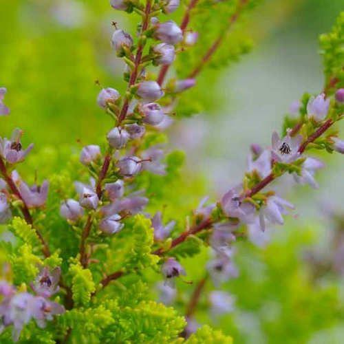 Achat calluna vulgaris boskoop jeune plante en motte for Achat plante