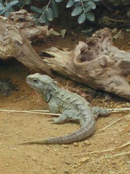 Tuatara an iconic New Zealand reptile    Not a lizard!