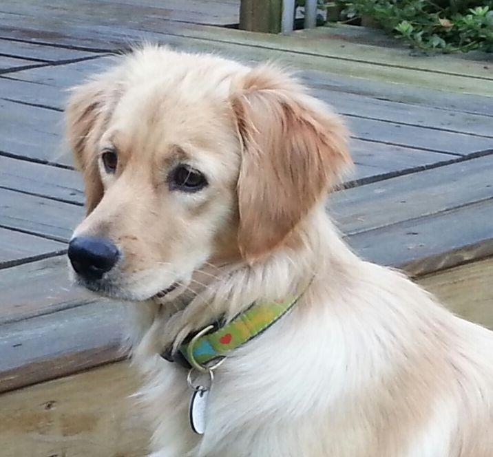 Adopt Joy On Dogs Golden Retriever Golden Retriever Rescue