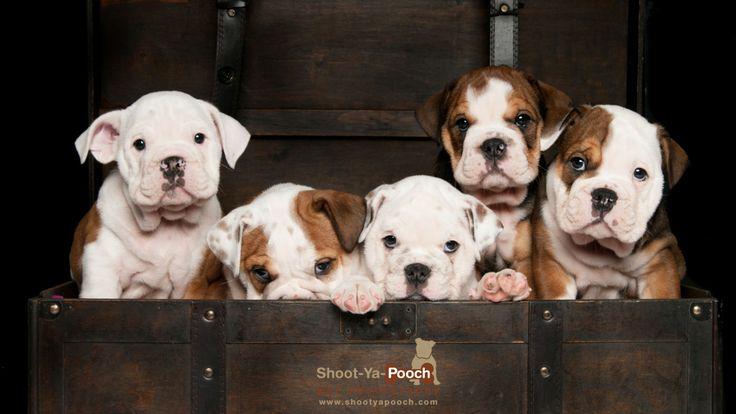 Bulldog Puppies photographed by Shoot-Ya-Pooch Pet Photography www.shootyapooch.com