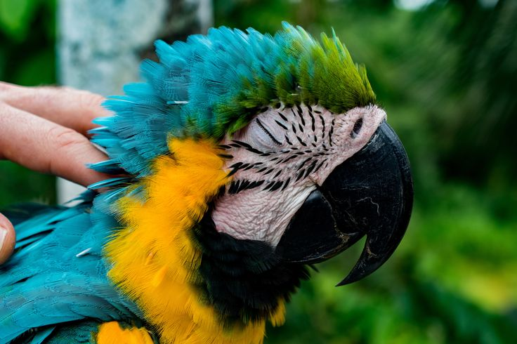 Laura, our beautiful macaw who always comes for some cuddles.