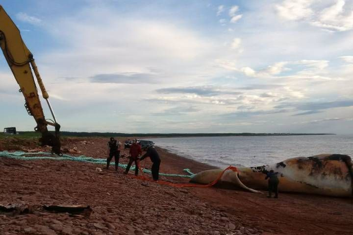 07/21/2017 - Scientists investigate cause of death of 8 endangered whales in Saint Lawrence Gulf