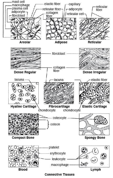 15 best Anatomy - Tissues images on Pinterest | Cells and tissues ...