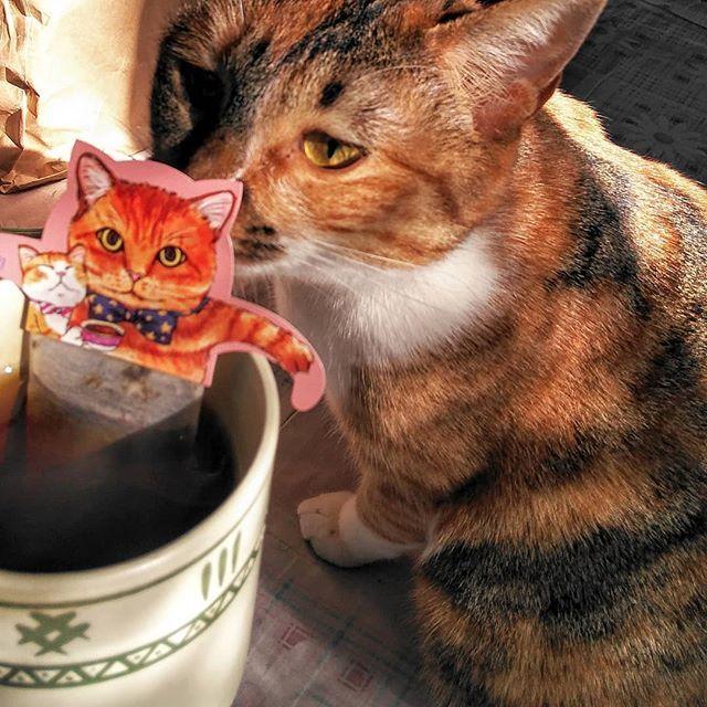猫さんは飲めないCat Cafe😄 #キャットカフェ #日本緑茶センター #アールグレイ #愛猫 #ミケトラ #トラネコ #紅茶 #ティーバッグ