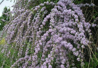 Buddleja alternifolia - Buddleia Weeping Butterfly Bush