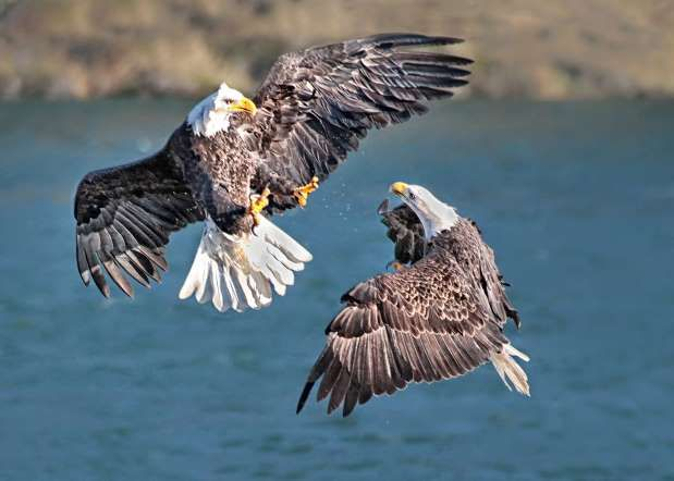WINNER – CANADA Fighting Bald Eagles by George Ching-Yuen LO