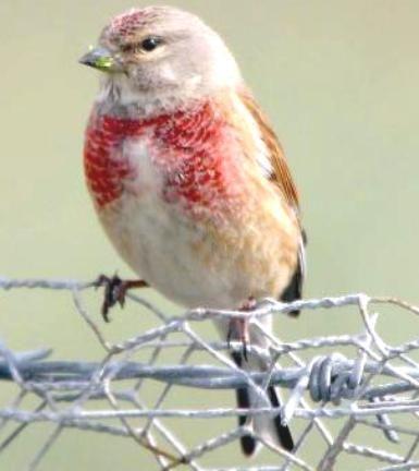 Download Burung Linnet, Download Kicau Burung Linnet, Download Kicau Linnet, Download Linnet, Download Mp3 Burung Linnet, Download Mp3 Kicau Burung Linnet, Download Mp3 Kicau Linnet, Download Mp3 Linnet, Download Mp3 Suara Burung