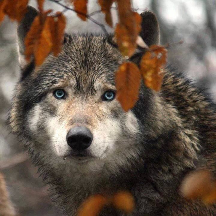 there are no words for the beauty of the wolf...for all are different in looks, nature and disposition....much like humans!