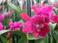 "Bold colors abound in ""Orchid Daze,"" such as the bright fuchsia blooms of this Brassolaeliocattleya Hwa Yuan Rose 'NN'."