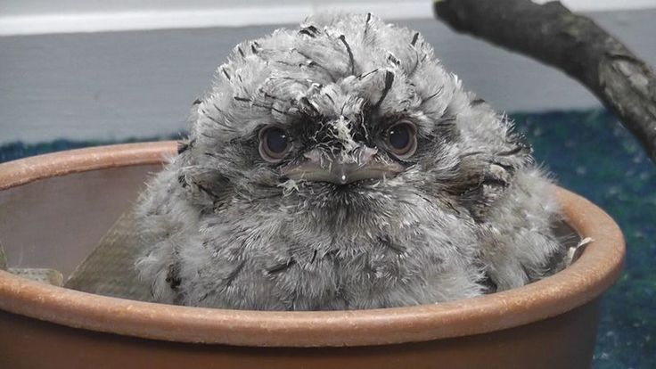 Watch a Tawny Frogmouth Grow at St. Louis Zoo - Don't miss the video here: http://www.zooborns.com/zooborns/2013/12/tawny-frogmouth-st-louis-zoo.html