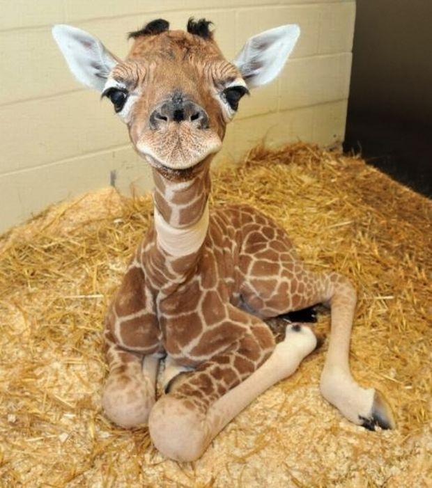 Un bébé girafe, appelé girafon, nous regarde avec des yeux tendres
