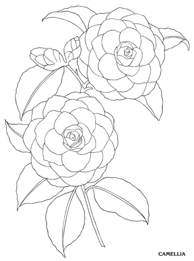 Camellia Flower Line Drawing : Best images about camellias on pinterest alabama