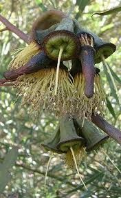 Image result for gumnut seed pod