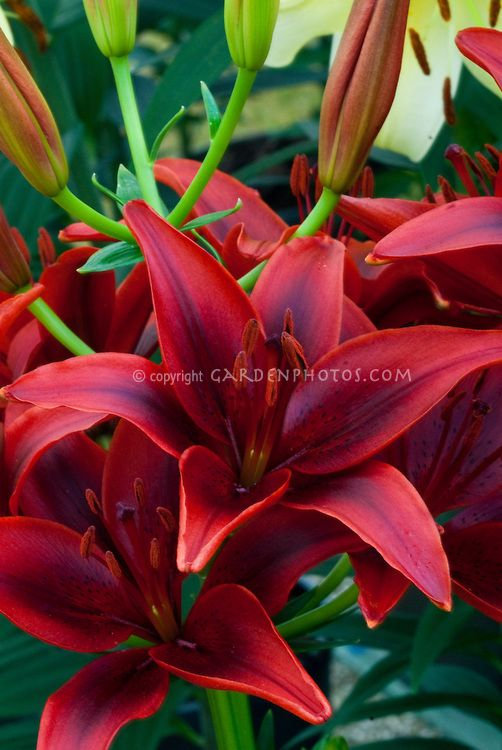 Black and red flowers of Lilium 'Blackout' asiatic lily