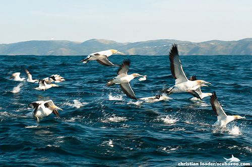 Cape Gannets taking off, Sardine Run, South Africa