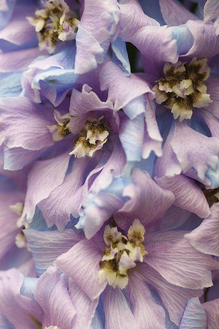 "photo by nobuflickr on Flickr - ""Delphinium grandiflorum - Photo was taken in The Kyoto Botanical Garden"""