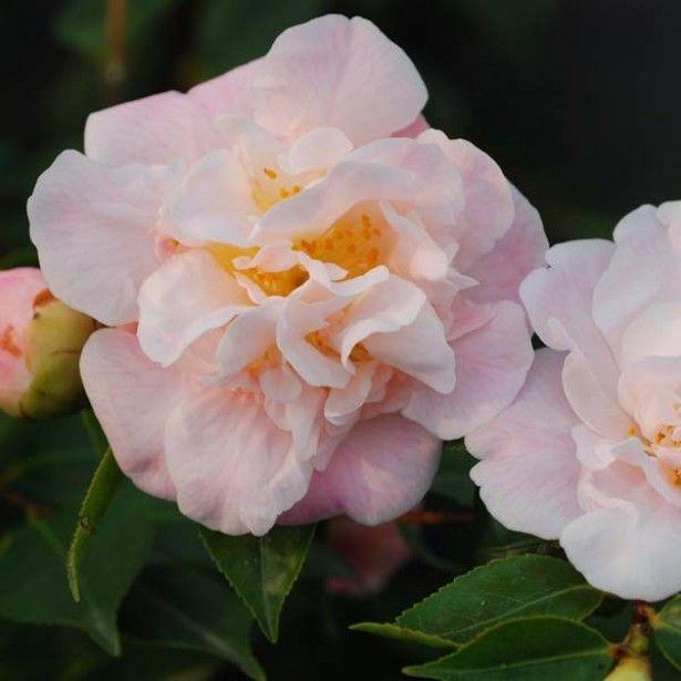 Camélia champêtre, Camellia High Fragrance
