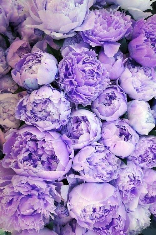 Purple peonies.