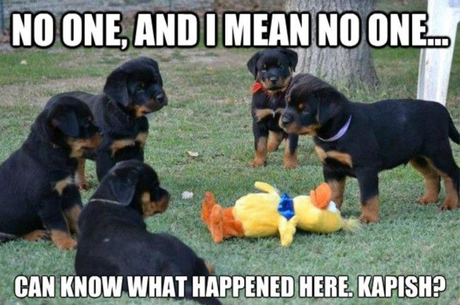 Very interesting post: Rottweiler Puppies - 38 Pictures. Also dompiсt.сom lot of interesting things on Funny Dog.
