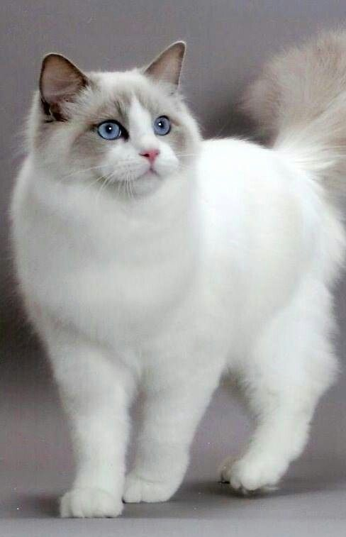 Himalayan cat, My Tamoura was identical! :-)