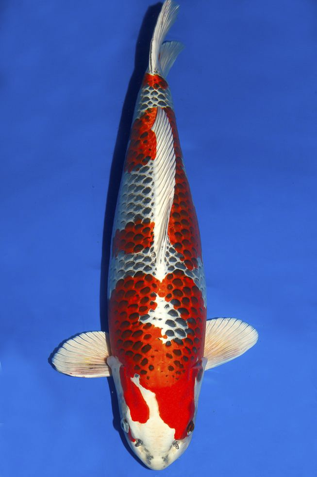 104 best images about faszination koi on pinterest for Exotic koi fish