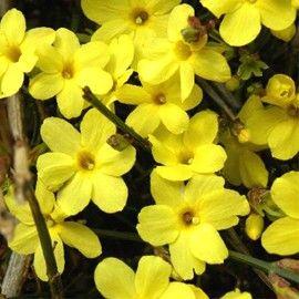 Plante grimpante à feuillage caduc et à floraison hivernale. Très rustique. A cultiver en bac, guidée sur un treillage ou en couvre-sol. Laissez libre, elle forme un petit arbuste.