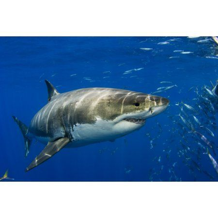 1000 ideas about guadalupe island on pinterest great for Guadalupe island fishing
