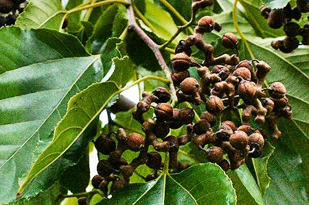 The Raisin Tree Fruit Diminishes Hangover | Culinary News | Genius cook - Healthy Nutrition, Tasty Food, Simple Recipes