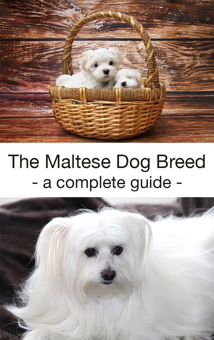 Maltese Dog Breed Information Center The Ultimate Fluffy White