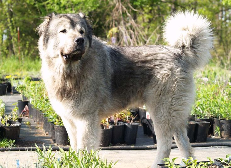 Caucasian Ovcharka | Guard Dog Breeds | Pinterest